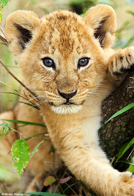 lion and lioness and cub. lion and lioness and cub. you poems Lioness and cub
